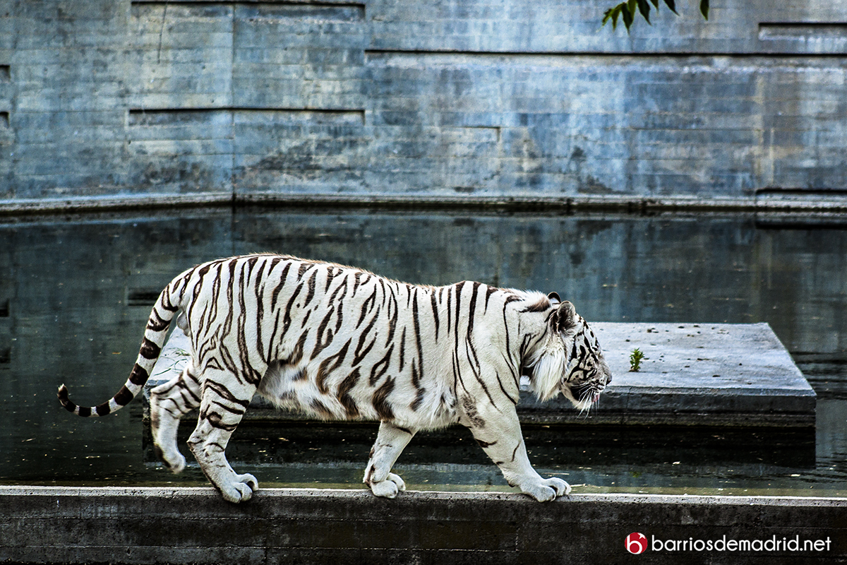 tigre blanco zoo madrid