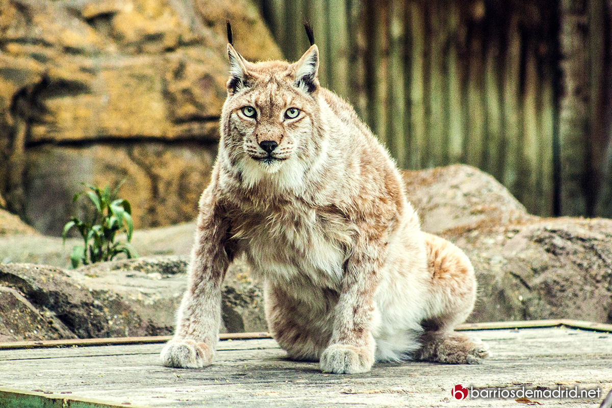 lince zoo madrid