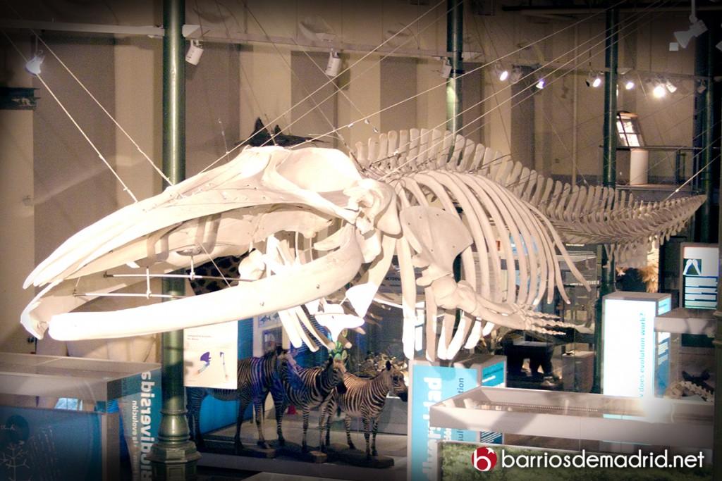 ballena rorcual esqueleto museo de ciencias naturales de madrid