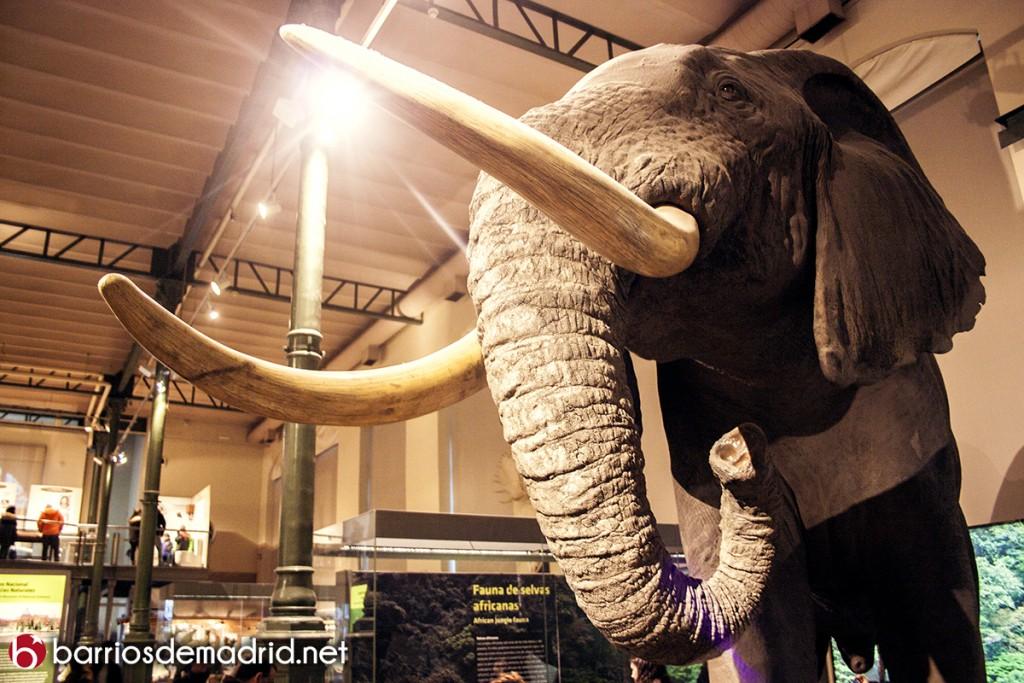 elefante museo ciencias naturales de madrid
