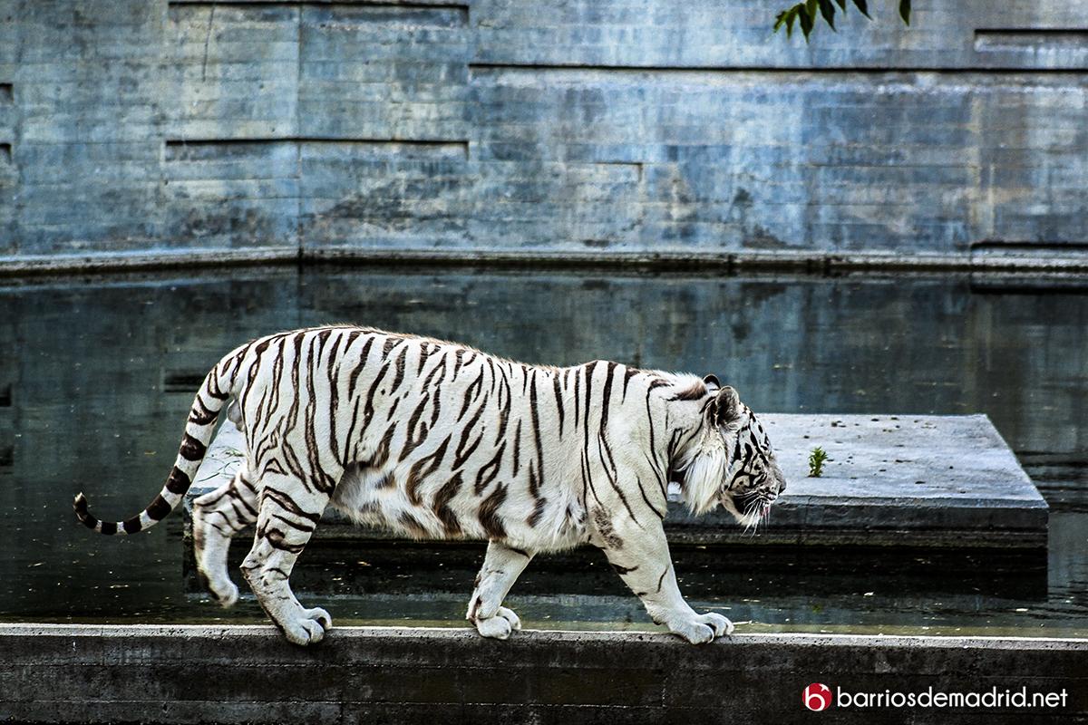 tigre blanco zoo madrid