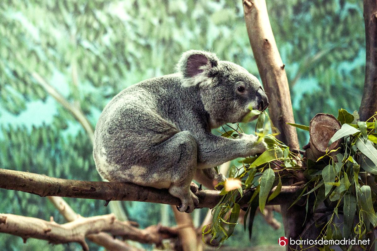 koala zoo madrid