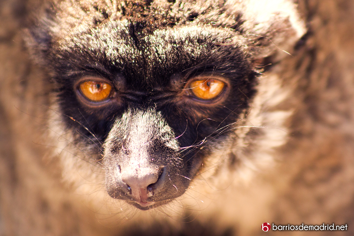lemur zoo madrid