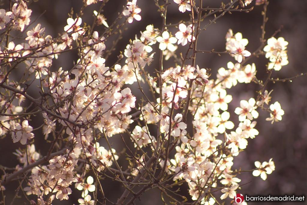 cerezo en flor quinta molinos suances